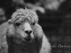Llama on Film