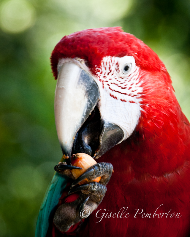 Green Wing Macaw, Trinidad