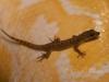 Lizard on Albino Burmese Python